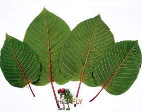 Kratom Blätter