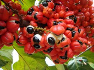 Guaranafrüchte