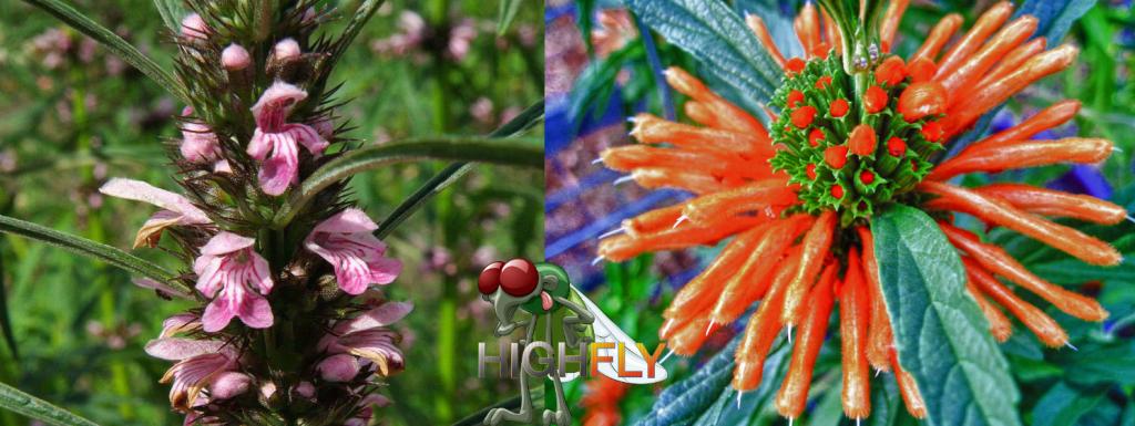 links: Marihuanilla; rechts: Wild Dagga